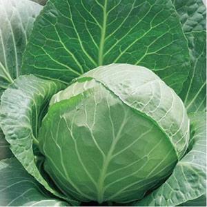 Вкусный Огород: Выращивание белокочанной капусты